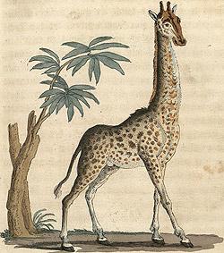 cardini_giraffa_02