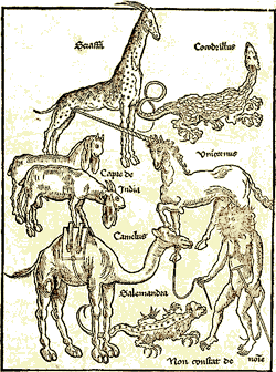 cardini_giraffa_03